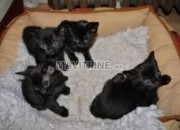 Photo de l'annonce: chaton Bombay