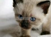 Photo de l'annonce: Adorables chatons siamois