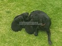 Photo de l'Annonce: Chiots labrador à vendre