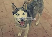 Photo de l'annonce: Huskey