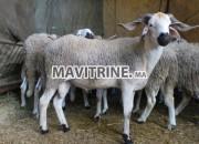 Photo de l'annonce: Mouton حولي العيد
