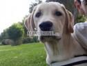 Photo de l'Annonce: Labrador sablé
