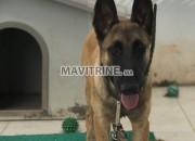 Photo de l'annonce: Un beau Chien berger malinois