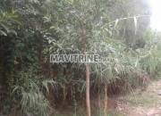 Photo de l'annonce: Ficus 3 metres