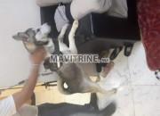 Photo de l'annonce: husky sibérienne fumelle