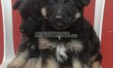 Photo de l'annonce: Chiots femelles berger allemand masque noir et poil long
