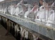 Photo de l'annonce: Vente des lapins en gros
