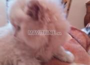 Photo de l'annonce: des chatons persan chinchilla race pur