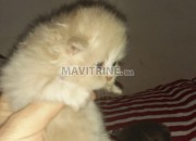 Photo de l'annonce: Adorable chatons persans chinchilla race pure