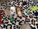Photo de l'Annonce: chiots bulldog anglais