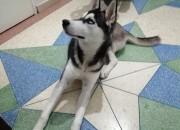 Photo de l'annonce: Husky femelle