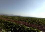 Photo de l'annonce: Recolte de pastèque maroc 2020
