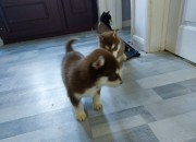 Photo de l'annonce: Chiots types husky sibérien