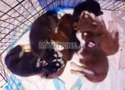 Photo de l'annonce: Chiots husky sibérien