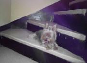 Photo de l'annonce: Vente petit chien Yorkshire