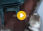 """Photo de l'annonce: 2 Husky """"noir"""" et """"marron"""""""