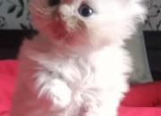 Photo de l'annonce: Chaton persan mâle