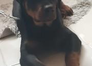 Photo de l'annonce: Je vend mon chien Mâle Rotweiller de 7 mois