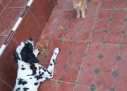Photo de l'annonce: Mâle dalmatien