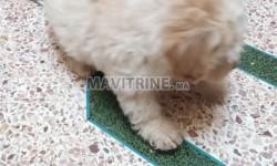 Vente couple de chiots caniche bichon maltais
