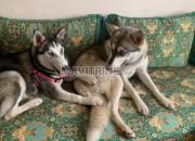 Photo de l'annonce: Husky sibérienne 6 mois les yeux