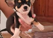 Photo de l'annonce: Chiots Chihuahua Toy