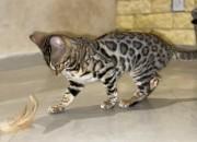 Photo de l'annonce: Chatons Bengal avec pedigree