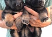 Photo de l'annonce: Chiot berger allemand à vendre