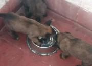 Photo de l'annonce: Malinois pedigrées