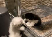 Photo de l'annonce: Chaton persan chinchilla pure race